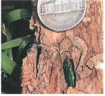 Emerald Ash Borer on a tree trunk next to a nickel